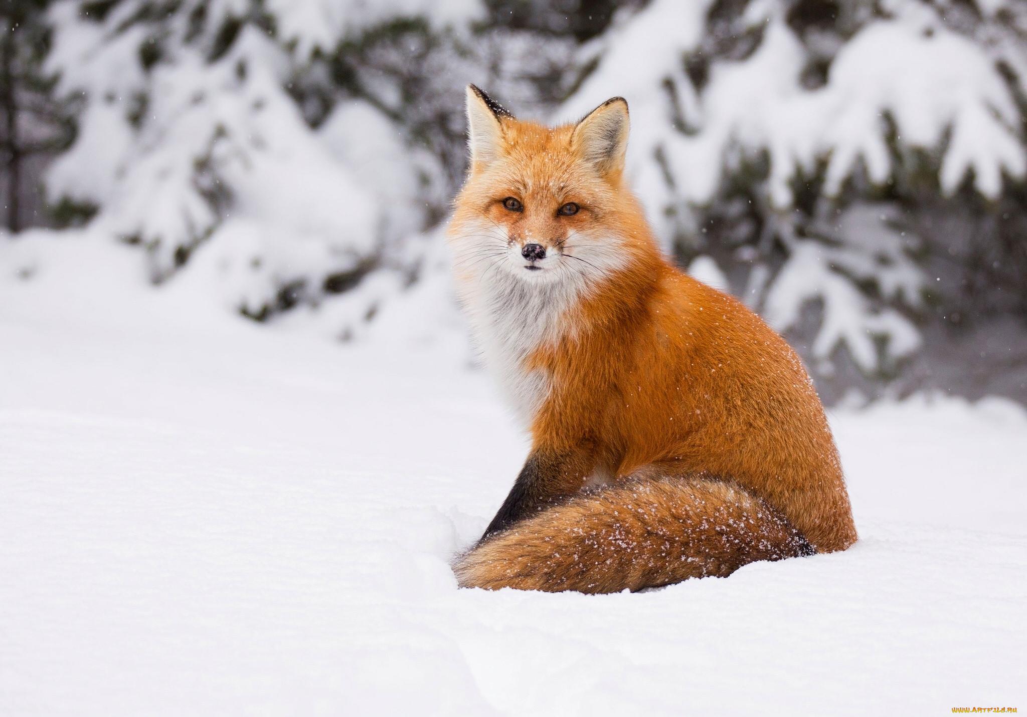 Зима животные картинки красивые